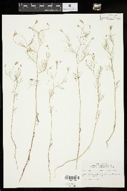 Image of Spermolepis inermis