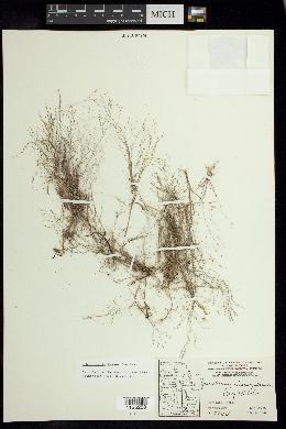 Muhlenbergia texana image