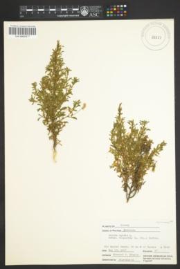 Ononis natrix image