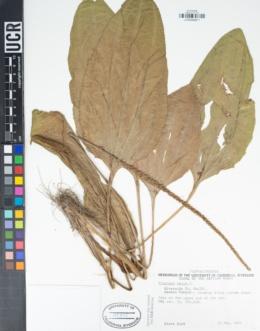 Plantago major image