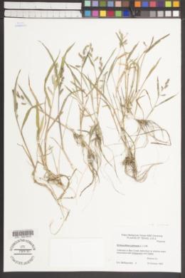 Echinochloa colona image