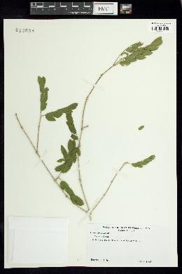 Guaiacum sanctum image