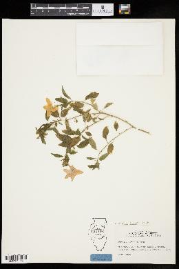 Image of Browallia speciosa