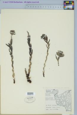 Lithospermum caroliniense var. croceum image
