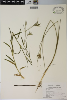Dianthus armeria image