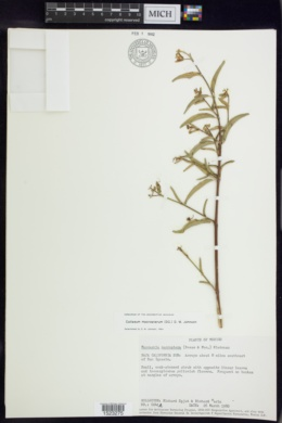 Callaeum macropterum image