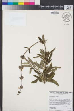 Image of Salvia mellifera