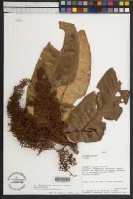 Image of Virola calophylla