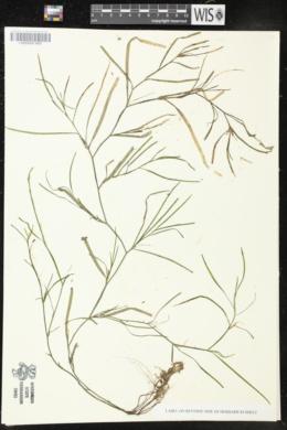 Heteranthera dubia image
