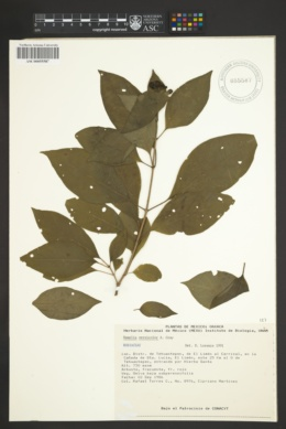Image of Hamelia versicolor