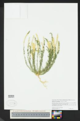 Oligomeris linifolia image