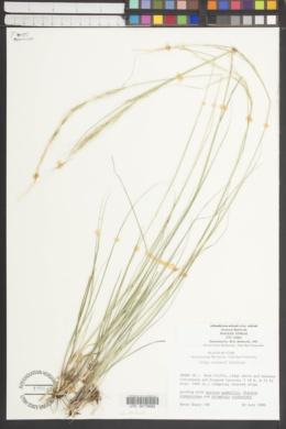 Achnatherum nelsonii subsp. nelsonii image