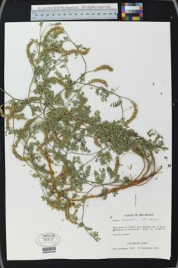Dalea lanata image