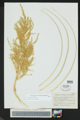 Nolina micrantha image