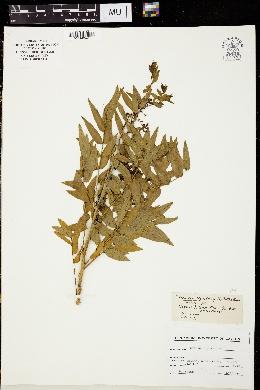 Image of Cassia ligustrina