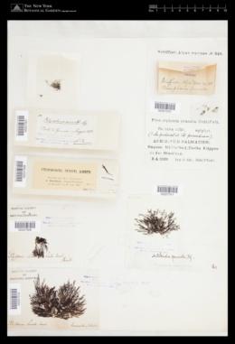 Pterosiphonia pennata image