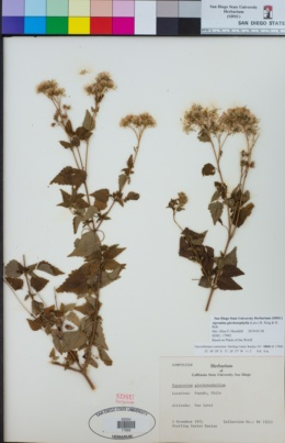 Image of Ageratina glechonophylla