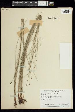 Image of Eleocharis acuminata