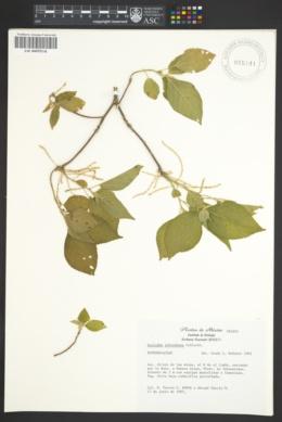 Image of Acalypha schiedeana