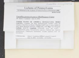 Lasallia pennsylvanica image