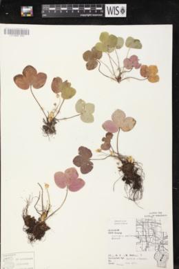 Anemone americana image