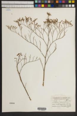 Image of Limonium latifolium