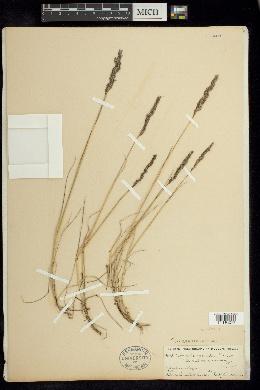 Image of Agrostis virescens