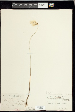 Eriophorum gracile image