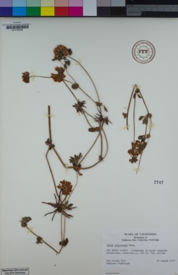 Lotus uliginosus image