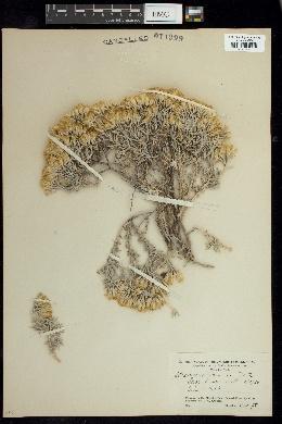 Image of Tetradymia inermis