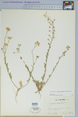 Image of Lesquerella grandiflora