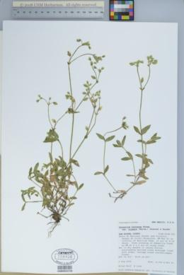 Cerastium fontanum var. vulgare image