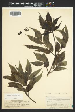 Sambucus racemosa var. racemosa image