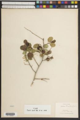 Ceanothus martini image