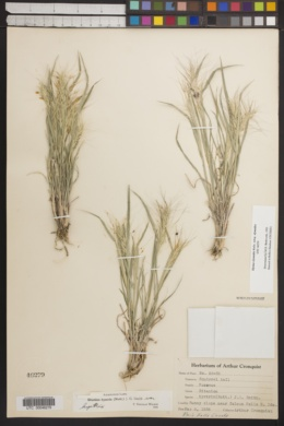 Elymus elymoides subsp. elymoides image