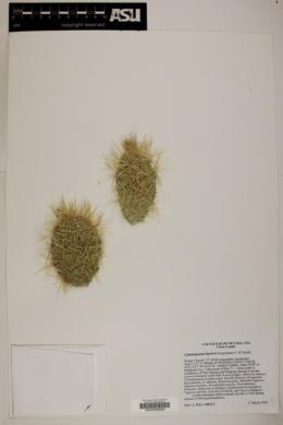 Cylindropuntia bigelovii image
