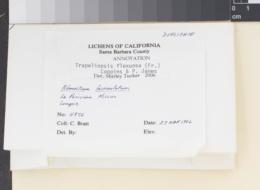 Trapeliopsis flexuosa image