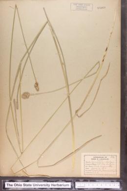 Carex conjuncta image