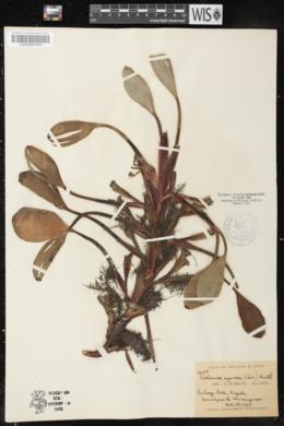 Eichhornia azurea image