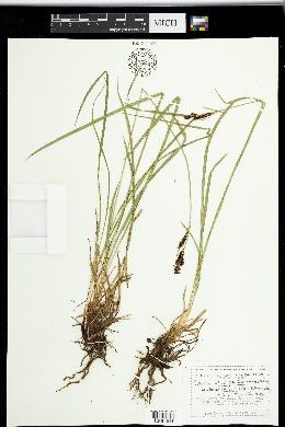 Carex scopulorum var. bracteosa image
