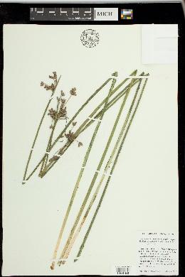 Image of Schoenoplectus x kuekenthalianus