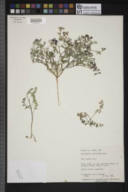 Astragalus sabulonum image