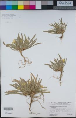 Camissonia graciliflora image