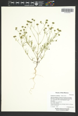 Picradeniopsis multiflora image