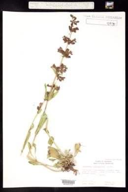 Penstemon cyanocaulis image