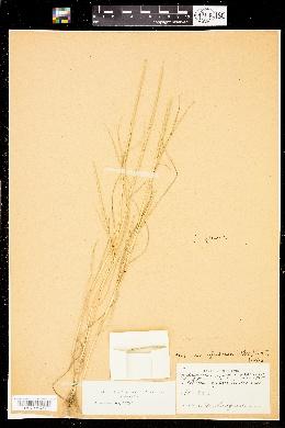 Image of Hainardia cylindrica