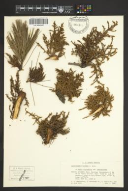 Arceuthobium blumeri image