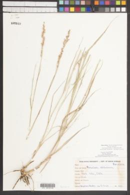 Eriogonum microthecum var. lapidicola image
