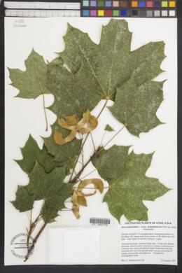 Acer platanoides subsp. turkestanicum image