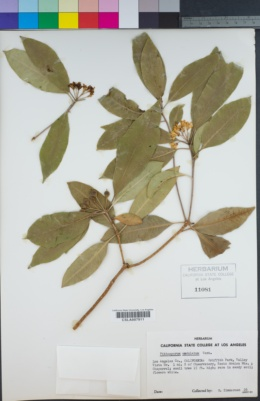 Pittosporum undulatum image